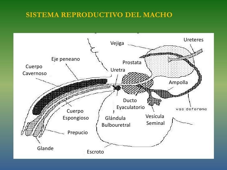 Reproductor de macho introduccion