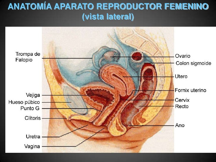 Increíble Sistema Femenino Anatomía Reproductiva Imagen - Anatomía ...