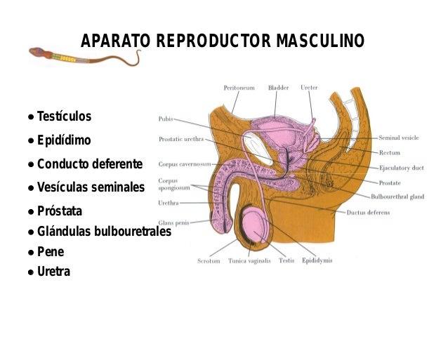 Histología de aparato reproductor masculino