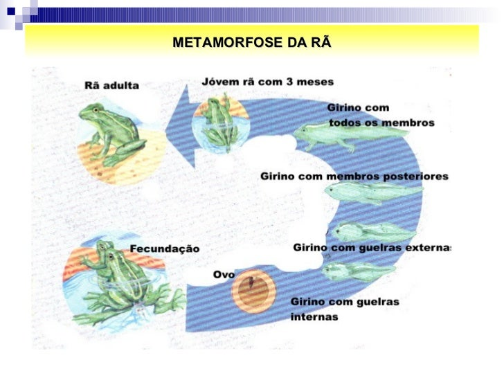 METAMORFOSE DA RÃ