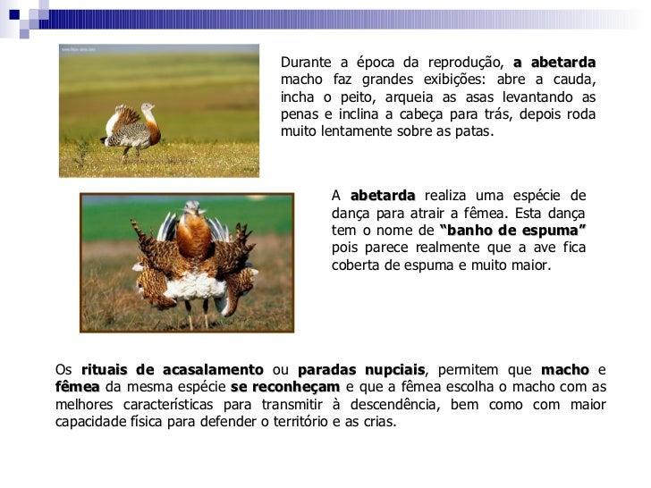 Durante a época da reprodução,  a abetarda  macho faz grandes exibições: abre a cauda, incha o peito, arqueia as asas leva...