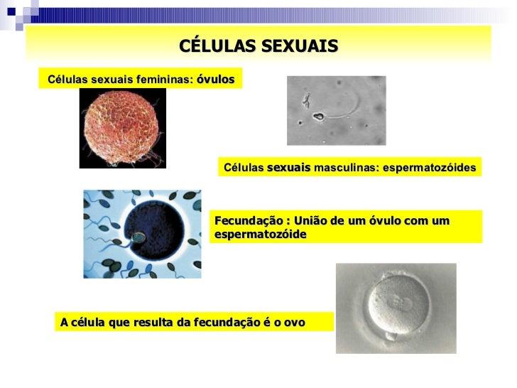 CÉLULAS SEXUAIS Células sexuais femininas:  óvulos A célula que resulta da fecundação é o ovo Células  sexuais  masculinas...