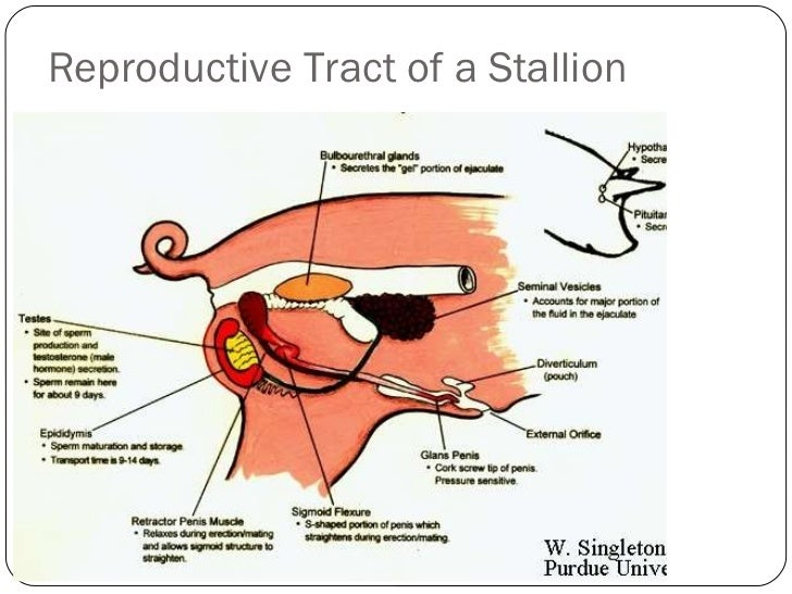 Animal reproductive tracts reproductive tract of a stallion 11 ccuart Gallery