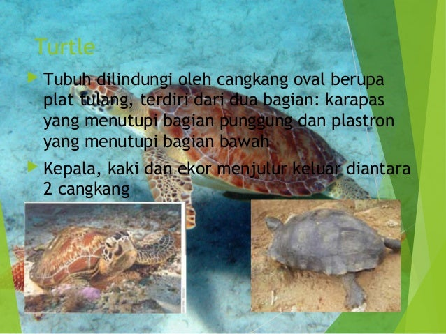 Vertebrata Reptilia 638 Cb Sistem Respirasi Chelonia Apte Turtle Ef Tubuh Dilindungi Cangkang