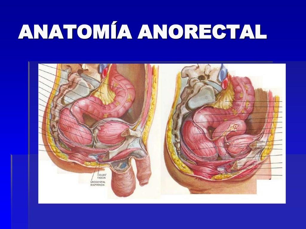 Asombroso Anatomía Del área Rectal Festooning - Imágenes de Anatomía ...
