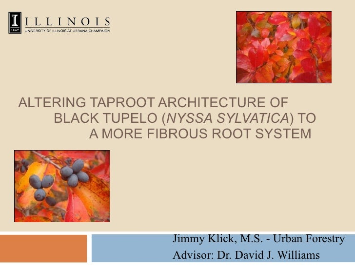 ALTERING TAPROOT ARCHITECTURE OF  BLACK TUPELO ( NYSSA SYLVATICA ) TO  A MORE FIBROUS ROOT SYSTEM Jimmy Klick, M.S. - Urba...