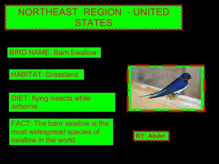 NORTHEAST  REGION  - UNITED STATES BIRD NAME: Barn Swallow HABITAT: Grassland DIET: flying insects while airborne FACT: Th...