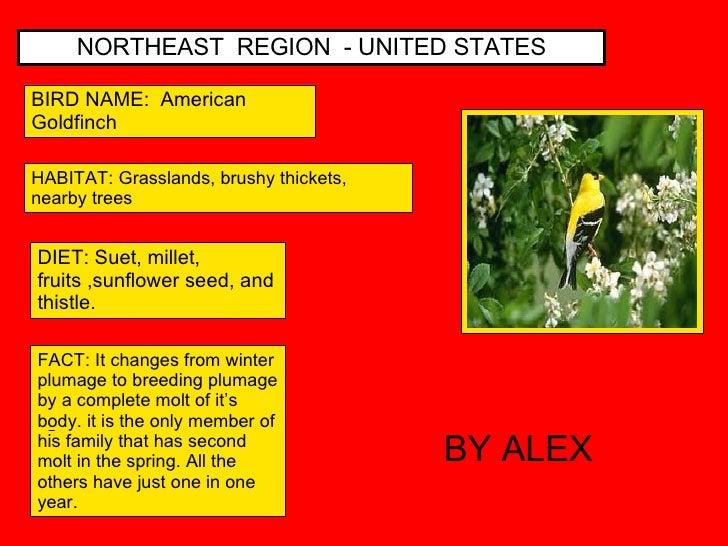 NORTHEAST  REGION  - UNITED STATES BIRD NAME:  American Goldfinch HABITAT: Grasslands, brushy thickets, nearby trees DIET:...