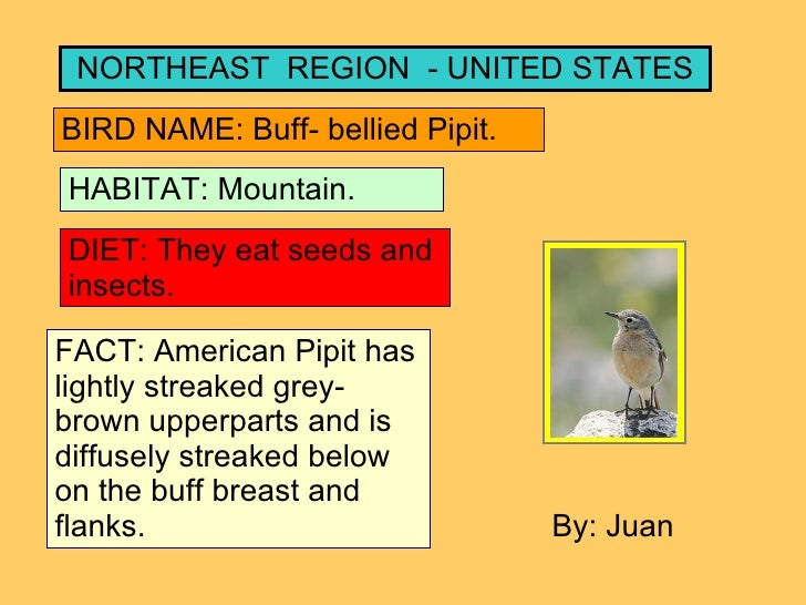 NORTHEAST  REGION  - UNITED STATES BIRD NAME: Buff- bellied Pipit. HABITAT: Mountain. DIET: They eat seeds and insects. FA...