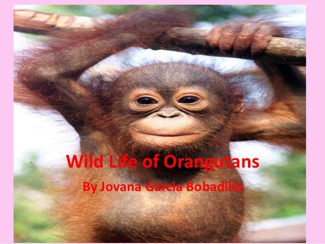 Wild Life of Orangutans By Jovana Garcia Bobadilla