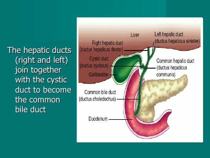<ul><li>The hepatic ducts (right and left) join together with the cystic duct to become the common bile duct  </li></ul>