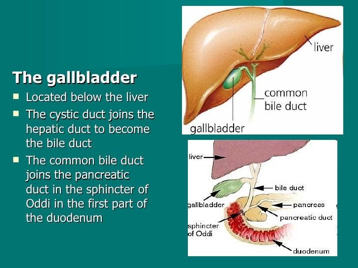 <ul><li>The gallbladder  </li></ul><ul><li>Located below the liver  </li></ul><ul><li>The cystic duct joins the hepatic du...