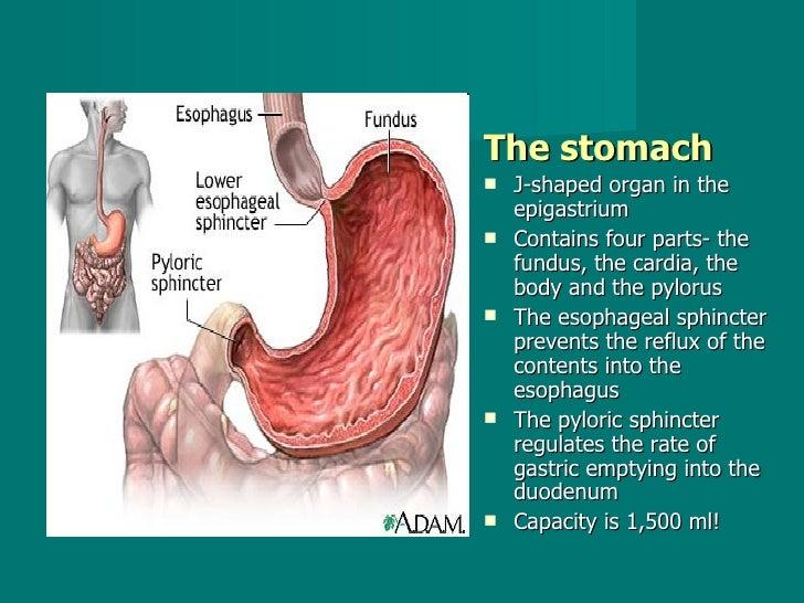<ul><li>The stomach   </li></ul><ul><li>J-shaped organ in the epigastrium  </li></ul><ul><li>Contains four parts- the fund...