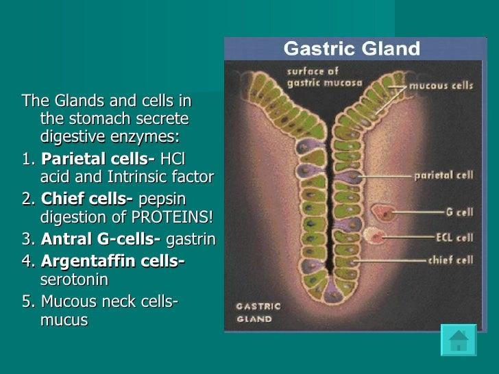 <ul><li>The Glands and cells in the stomach secrete digestive enzymes:  </li></ul><ul><li>1.  Parietal cells-  HCl acid an...