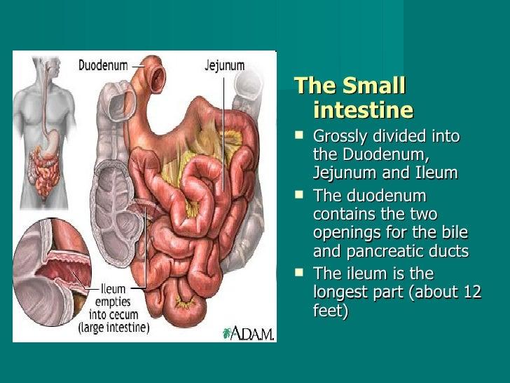 <ul><li>The Small intestine   </li></ul><ul><li>Grossly divided into the Duodenum, Jejunum and Ileum  </li></ul><ul><li>Th...