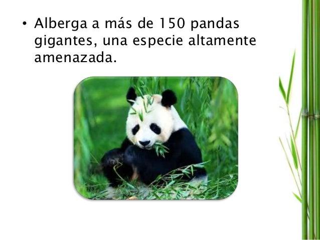 • Alberga a más de 150 pandas gigantes, una especie altamente amenazada.