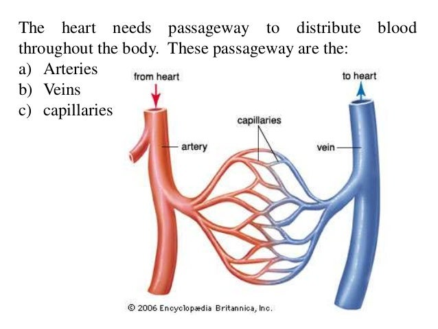 how the digestive cardiovascular and respiratory system are interrelate essay Nervous system– (brain, spinal cord, nerves) control system of the body,   cardiovascular system– (heart, blood vessels) the heart pumps.