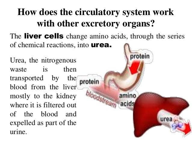 circulatory system organs