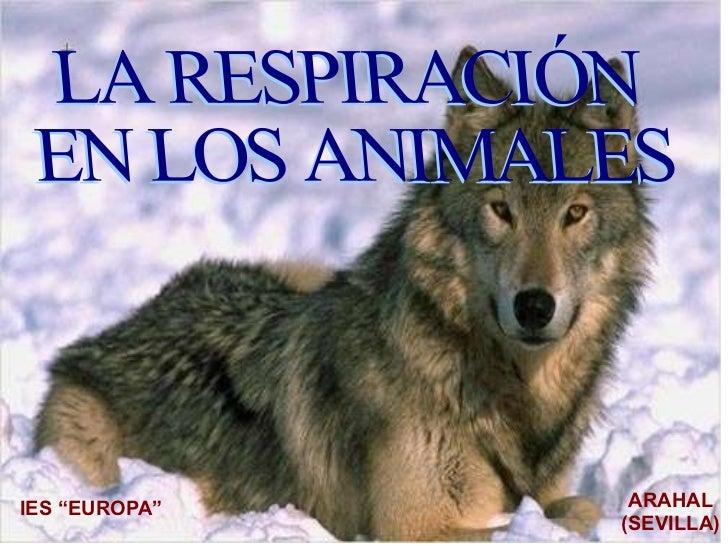 """IES """"EUROPA"""" ARAHAL (SEVILLA) LA RESPIRACIÓN  EN LOS ANIMALES"""