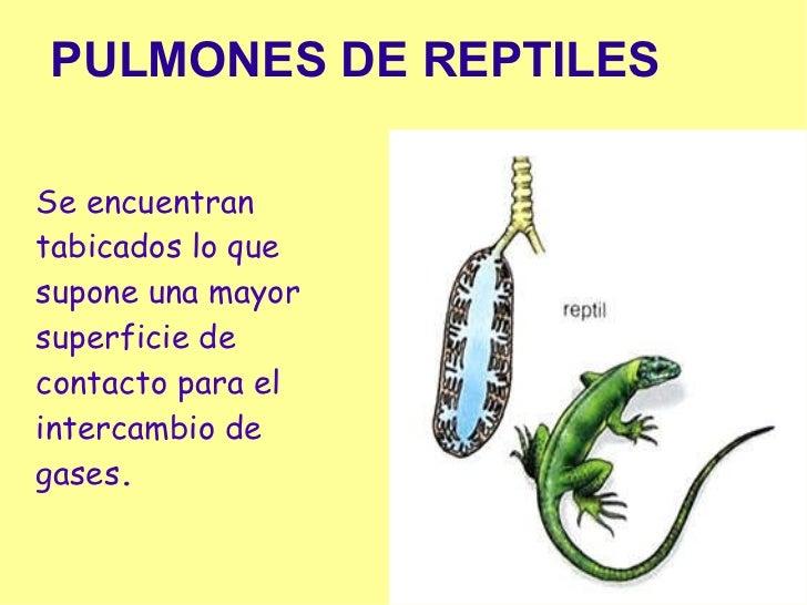 Resultado de imagen de respiracion reptiles