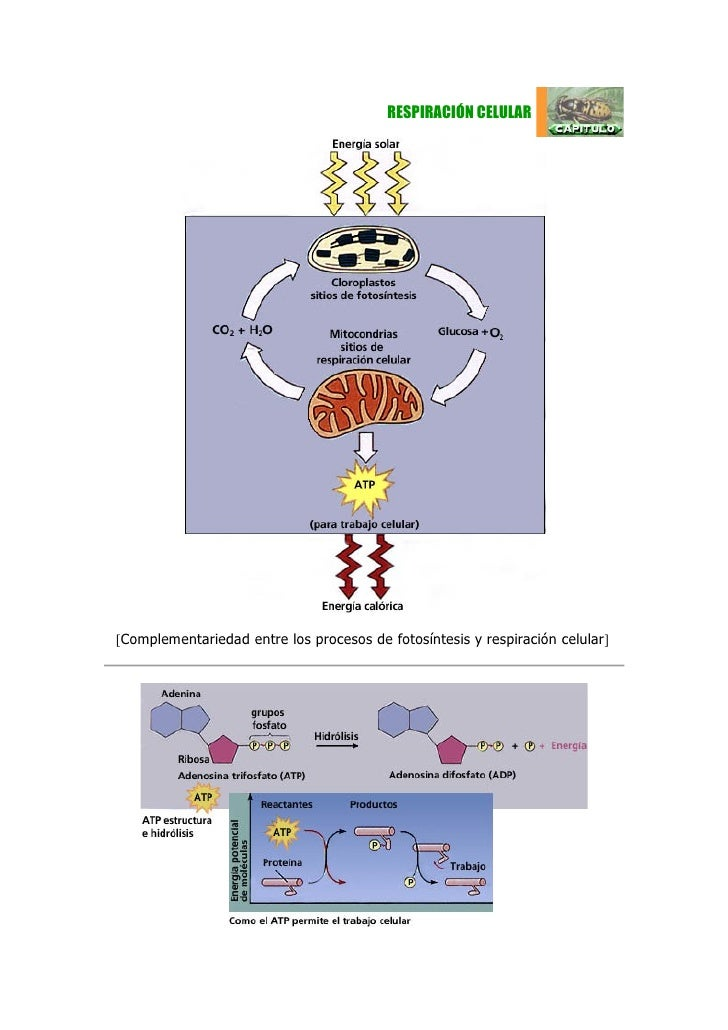 RESPIRACIÓN CELULAR[Complementariedad entre los procesos de fotosíntesis y respiración celular]