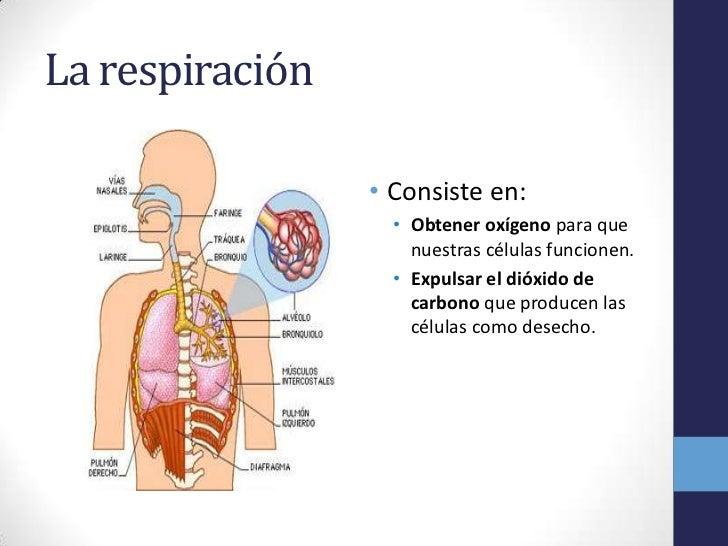 La Respiracion En El Ser Humano: Respiración, Circulación Y Excreción