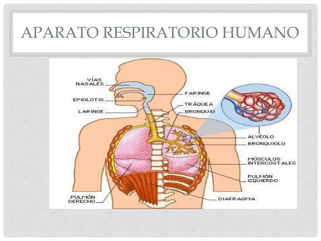 La Respiracion En El Ser Humano: Respiración Delos Animales Y El Hombre 2do Sec Fleming