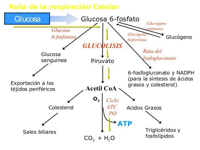 fase 1 metabolisme