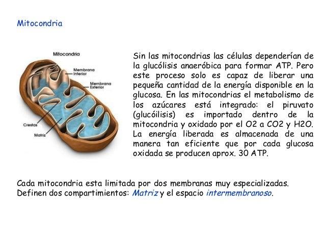 Mitocondria Sin las mitocondrias las células dependerían de la glucólisis anaeróbica para formar ATP. Pero este proceso so...