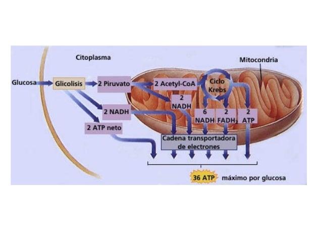 Glucólisis La mitocondria utiliza como combustibles mayoritarios el piruvato y los ác. grasos producidos en el citoplasma ...