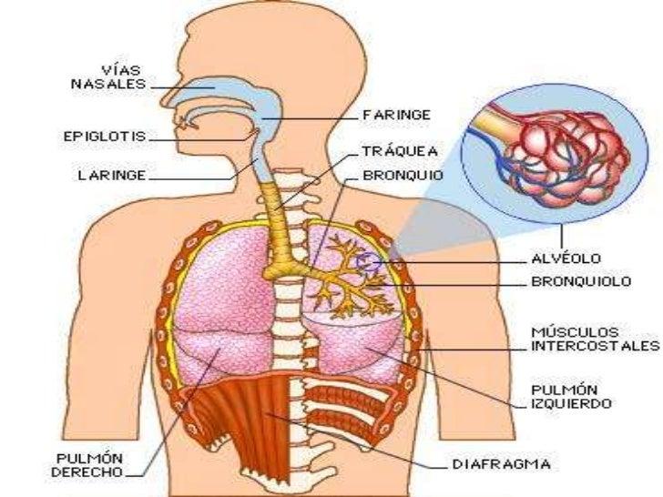 La Respiracion En El Ser Humano: Respiracion Humana