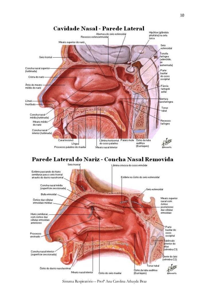 Único Anatomía Nariz Interna Inspiración - Anatomía de Las ...