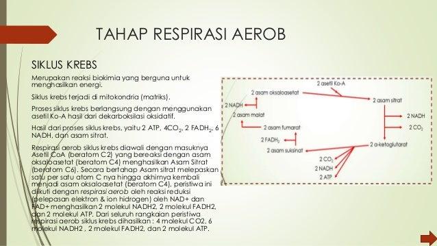 Katabolisme respirasi aerob 7 ccuart Choice Image