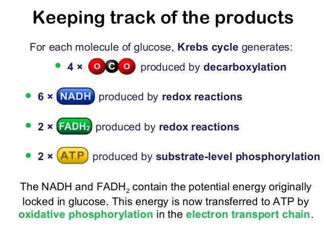 products of krebs cycle per glucose molecule