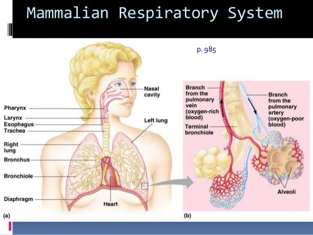 dissection of the mammalian respiratory system The respiratory system (called also respiratory apparatus, ventilatory system) is a biological system consisting of specific organs and structures used for the process of respiration in an organism the respiratory system is involved in the intake and exchange of oxygen and carbon dioxide between an organism and the environment.