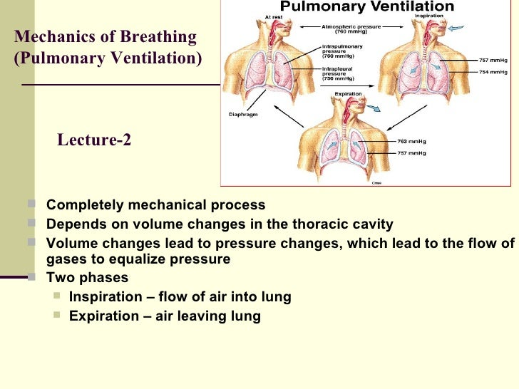 respiratory system mechanics essay Physioex 8 0 exercise 7 respiratory system mechanics physioex 8 0 exercise 7 respiratory system mechanics free essay: respiratory system mechanics.