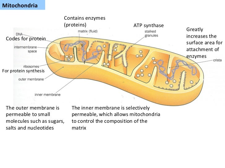 Overview of Mitochondria Structure and Function