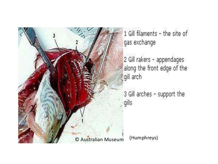 Respiration of fish human and bee for Arches related to breathing gills in fish