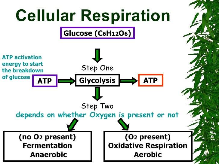cellular respiration in sports essay Summary: cellular respiration is essential to life without the atp it produces, all cellular life would cease to exist cellular respiration is a vital part of our everyday world cellular respiration is used to make atp, which is used for many different things atp is used for chemical, mechanical.