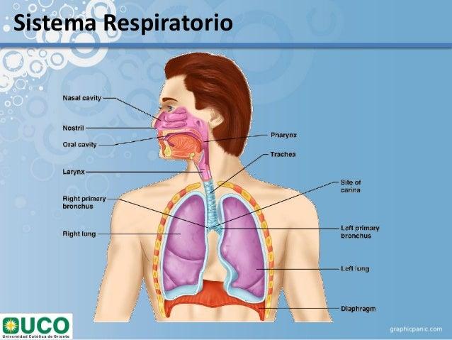 Anatomía Respiratoria, EPOC, ASMA, NEUMONIA