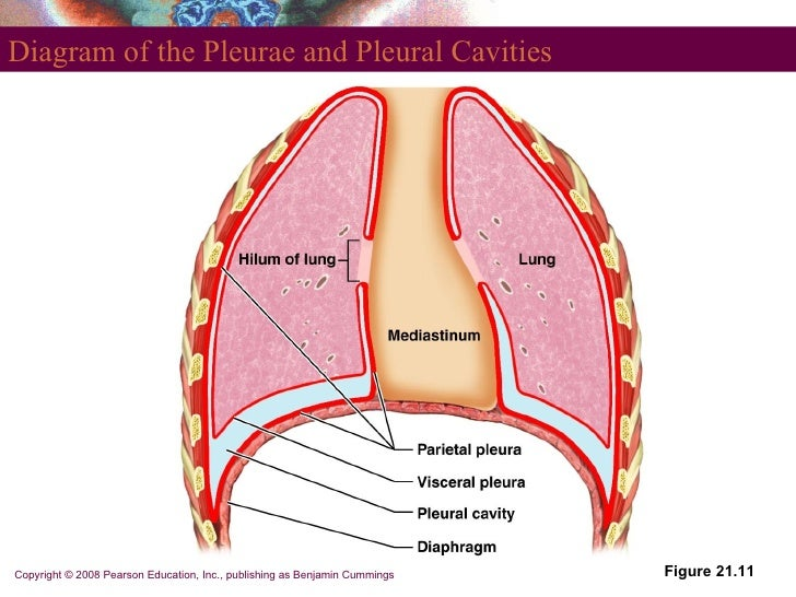 Respiratory Anatom