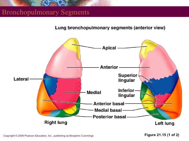 Bronchial Segments Diagram Great Installation Of Wiring Diagram