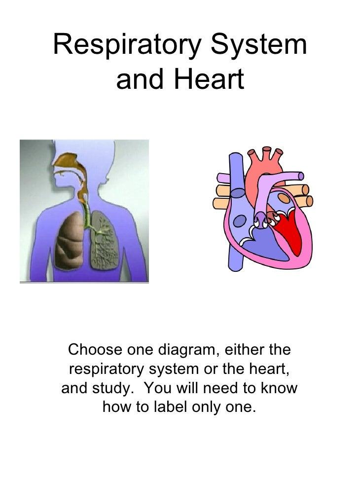 Respiratory System  U0026 Heart