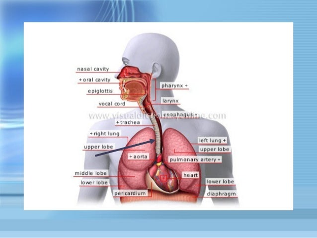 Respiratory System-powerpoint-1232722875244833-1