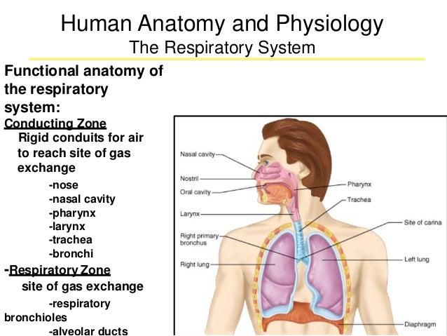Respiratory Anaotomy