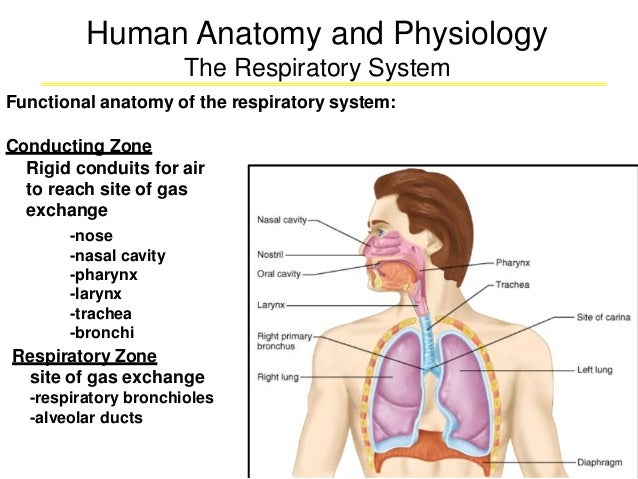 Human Anatomy and Physiology The Respiratory System Functional anatomy of the respiratory system: Conducting Zone Rigid co...