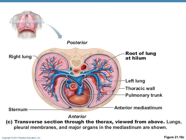 Anatomy And Physiology Chapter 1 Introduction To Anatomy And Physiology Part 1 also Index php also Lab 10 Fermentation Aerobic Cellular Respiration And Associated Major Organ Systems in addition Anatomical Regions Directions Body Cavities The Cell also 7648989. on body cavities and regions