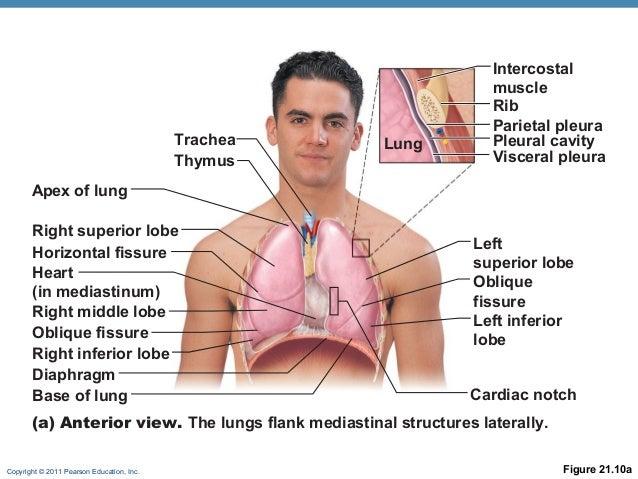 Respiratory anat online