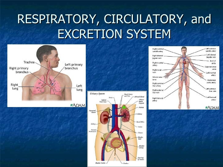 Respiratory Circulatory And Excretion System