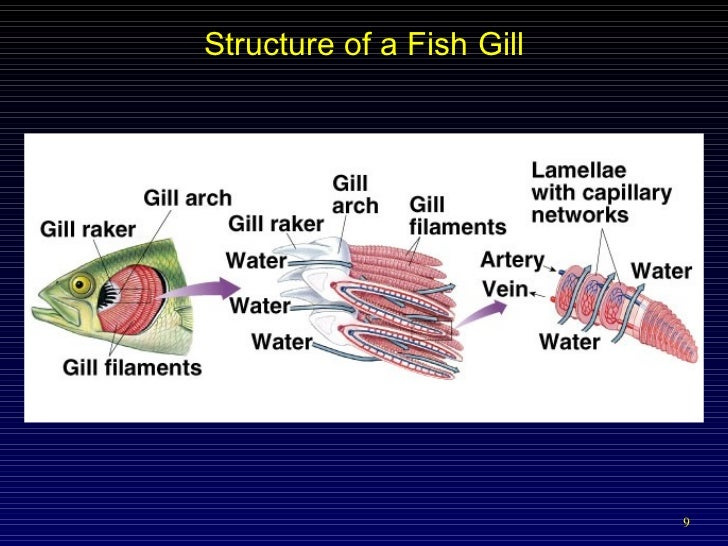 Respiratory intro for Arches related to breathing gills in fish